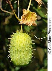 Wild Cucumber (Echinocystis) - A prickly green wild cucumber...