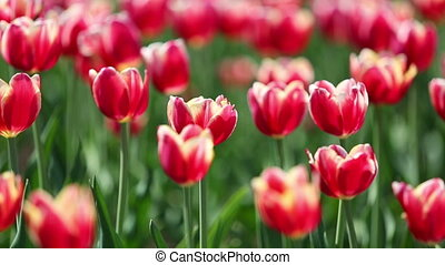 blooming red tulips with white border varieties of Leen van der Mark - shallow depth of field