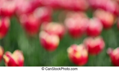 blooming red tulips with white border varieties of Leen van der Mark - rack focus