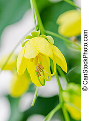 Cassia fistula flower - Yellow flower of Golden shower...