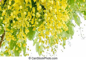 Cassia fistula flower - Yellow flower of Golden shower...