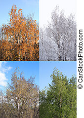 Four Seasons. One birch tree at four seasons of year