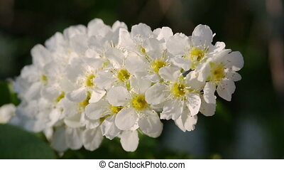 blossom bird cherry tree flowers macro