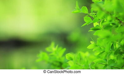 Green leaves. Shallow dof. - Green young leaves with...