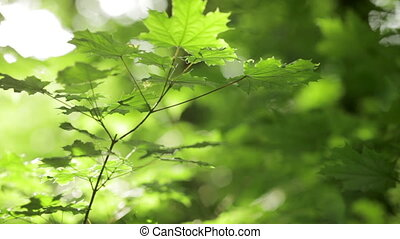 Young maple. Shallow dof. - Green young maple with defocused...