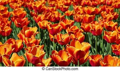 field of orange tulips blooming