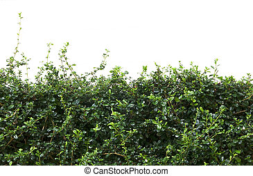 Bushes fence leaves isolated on white background.