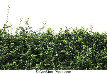 Bushes fence leaves isolated on white background.