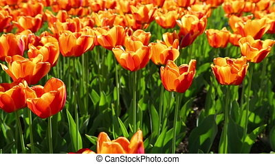 field of orange tulips blooming - slider dolly shot