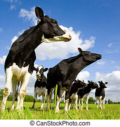 Holstein, Krowy