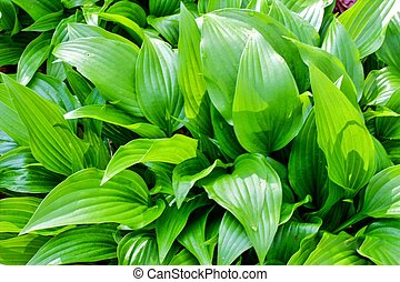 Lush Hostas - Healthy vibrant hostas A beautiful and lush...