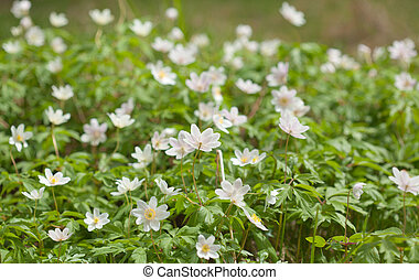 anemone nemorosa flowering on the forest floor