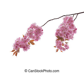 ornamental cherry blossoms isolated on white