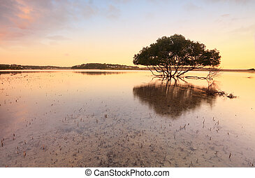 Lone mangrove tree and roots in tidal shallows - Single...