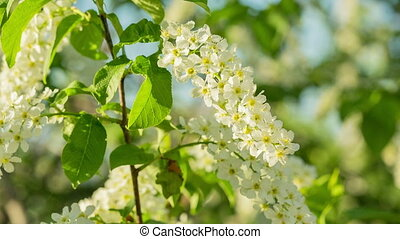 sun shines through the flowers of bird cherry tree - shot in RAW