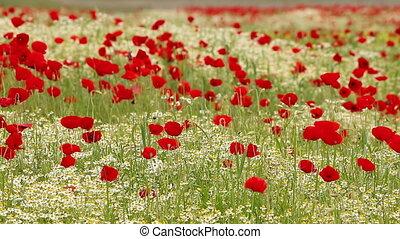 wind blowing across poppy field