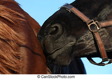 Black horse nuzzling brown horse close up