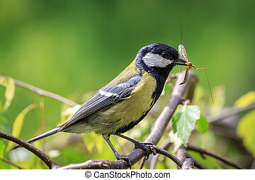 Great Tit carrying mosquito - Great Tit (Parus major)...