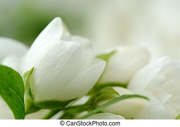 Beautiful White Jasmine Flowers - A close-up of beautiful...
