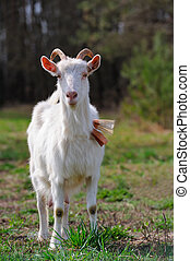 Goat on Pasture - A white she-goat grazing on pasture
