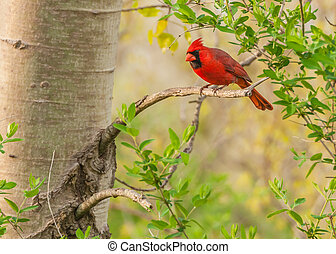 Male Cardinal  - A Male Cardinal perched on a tree branch.