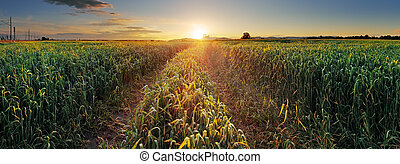 Panorama Sunset over wheat field with path.