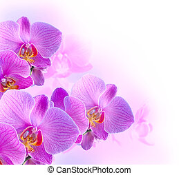 Orchids - Pink orchids on blur background