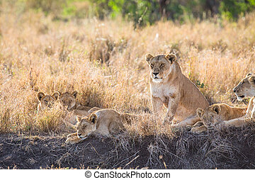 Lioness with her cubs - Lion pride in Serengeti Tanzania,...