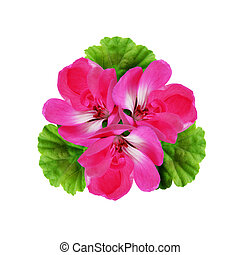 Geranium flowers composition isolated on white
