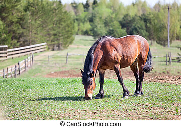Beauty brown horse grazing on pasture in village