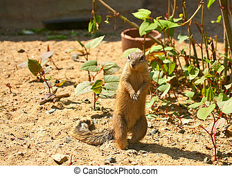 Exotic squirrel built on sand Species : Xerus inauris