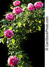Historic striped scented roses - Branch with very scented...