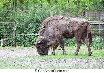 Bison bonasus, european bison, Wisent, aurochs