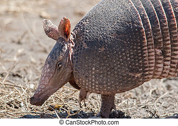 Foraging armadilo - Nine banded armadillo foraging in a dirt...