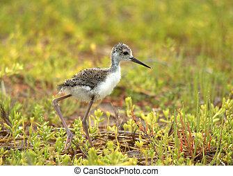 Black necked stilt chick foraging in a salt marsh
