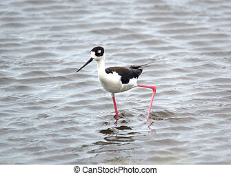 Black necked stilt foraging in shallow water