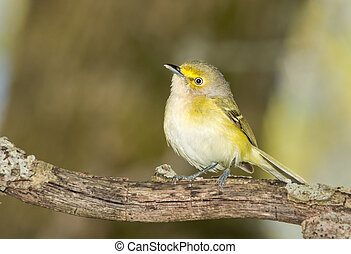 White eyed vireo perched on a branch