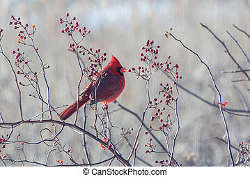 Winter cardinal in a red berry bush