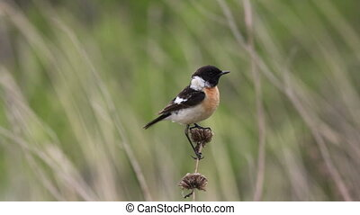 Stonechat - Male stonechat sitting on a branch