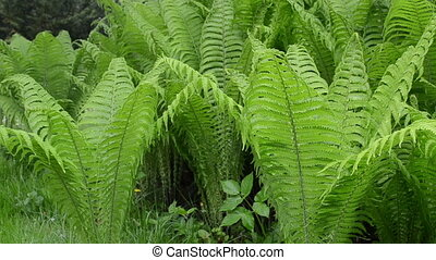 rain water fern plant - closeup of rain water drops fall on...