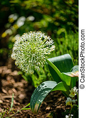 Allium - Close up image of allium Ivory Queen in garden