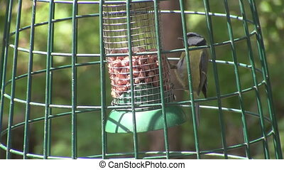 Blue tit feeding on a nut bag.