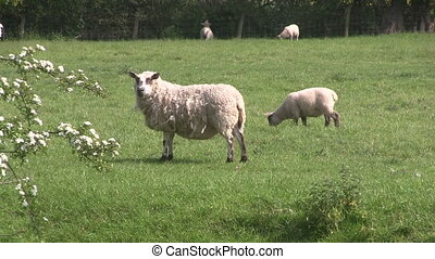 Ewe and lamb grazing in a field.