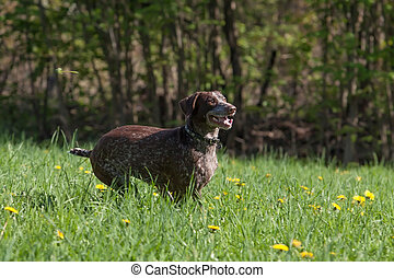 Kurzhaar - German shorthaired pointer Kurzhaar plying...