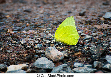 Small yellow butterfly on the road