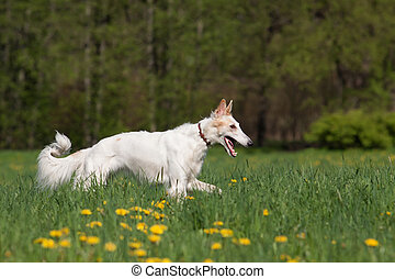 Russian wolfhound borzoi outdoors at a spring day