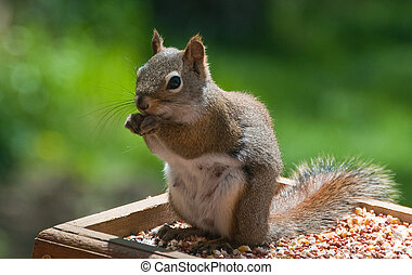Red Squirrel - A Minnesota red squirrel enjoying a meal of...