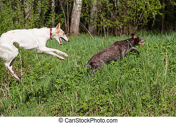 Russian wolfhound and German shorthaired pointer Kurzhaar...