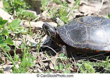 Turtle, Midland Painted (Chrysemys