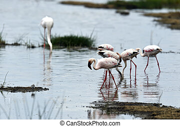 Flamingos in the National Park Lake Nakuru Africa